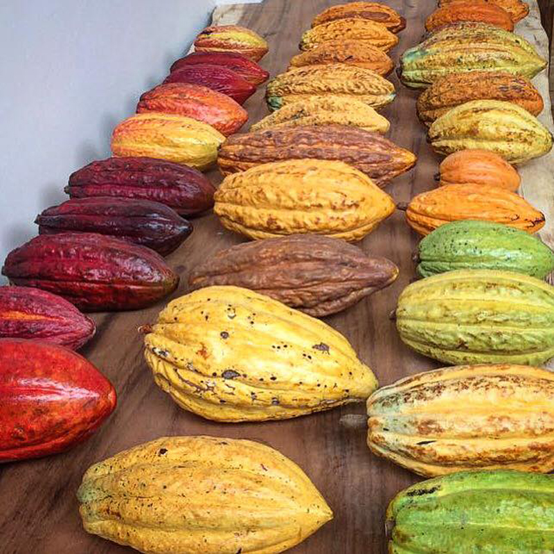 Colorful cacao pods
